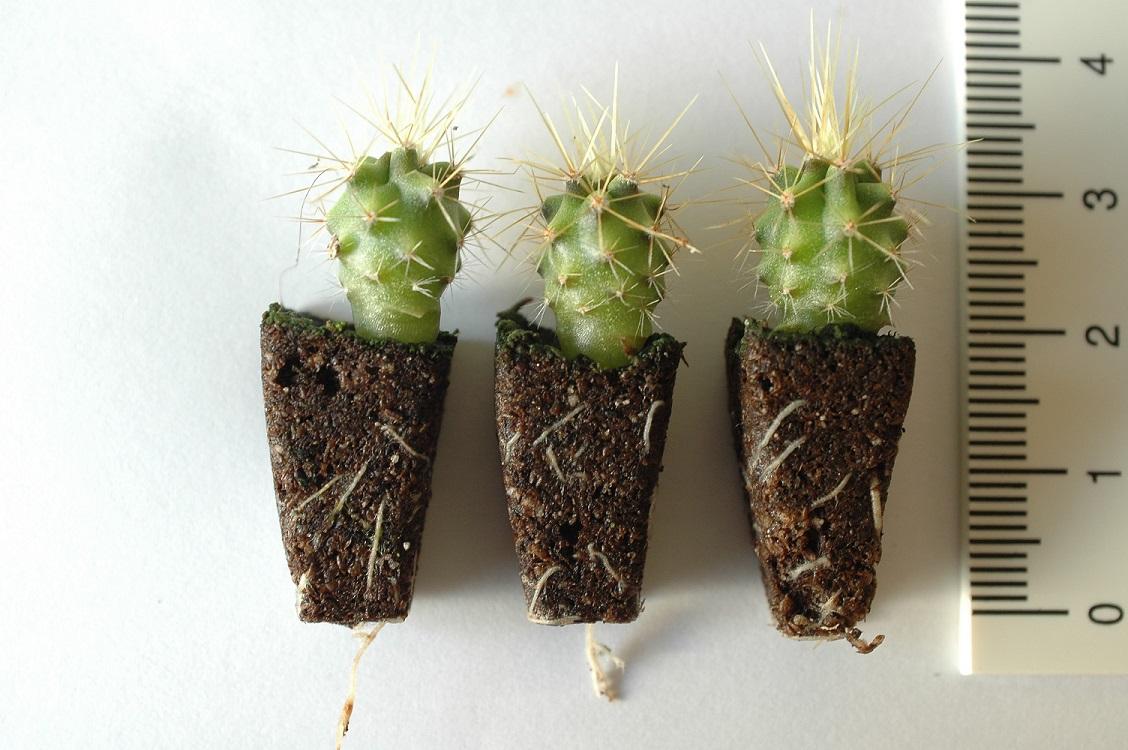 Xcel Plug® - Cactus