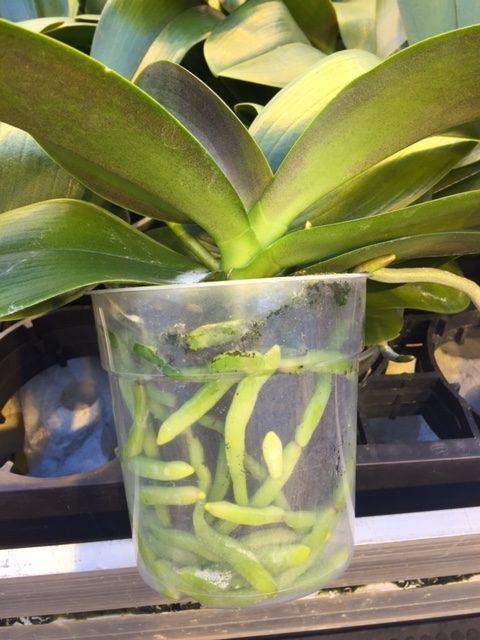 quickplug-phaleanopsis13